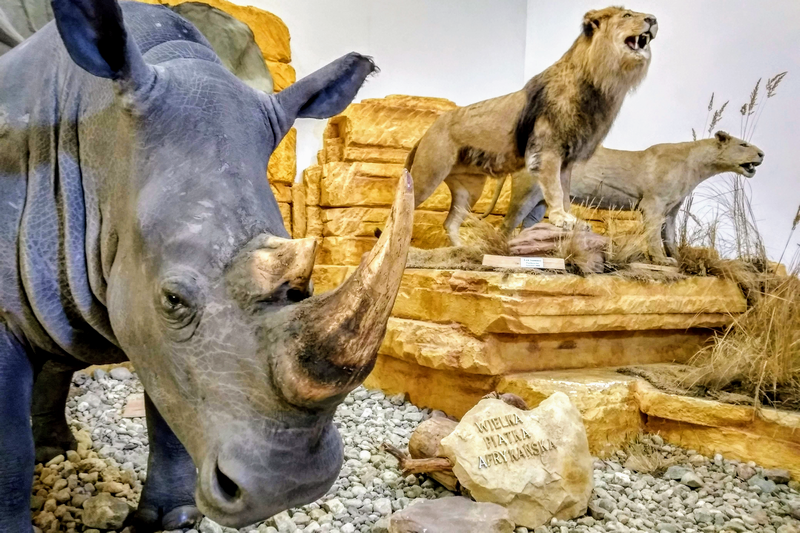 The African Big Five in the Museum of Natural History in Uzarzewo (Photo by Piotr Basiński)